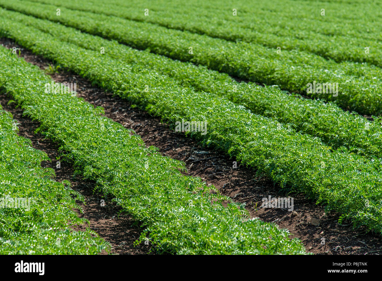 Rows of humus crops in a field - Stock Image