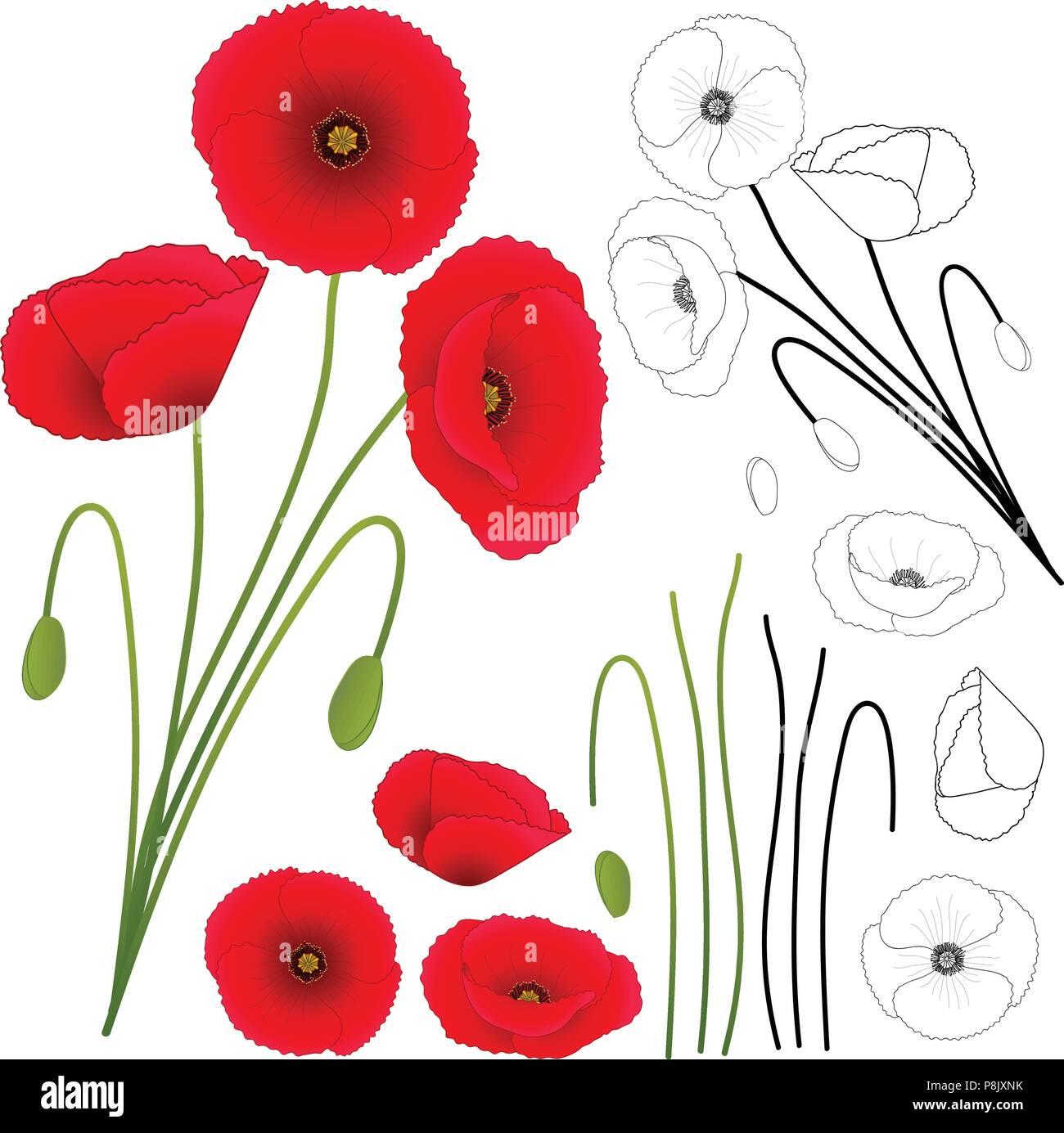 Papaver rhoeas (or common poppy,corn poppy,corn rose,field poppy,Flanders poppy or red poppy) isolated on White Background. Vector Illustration. - Stock Vector