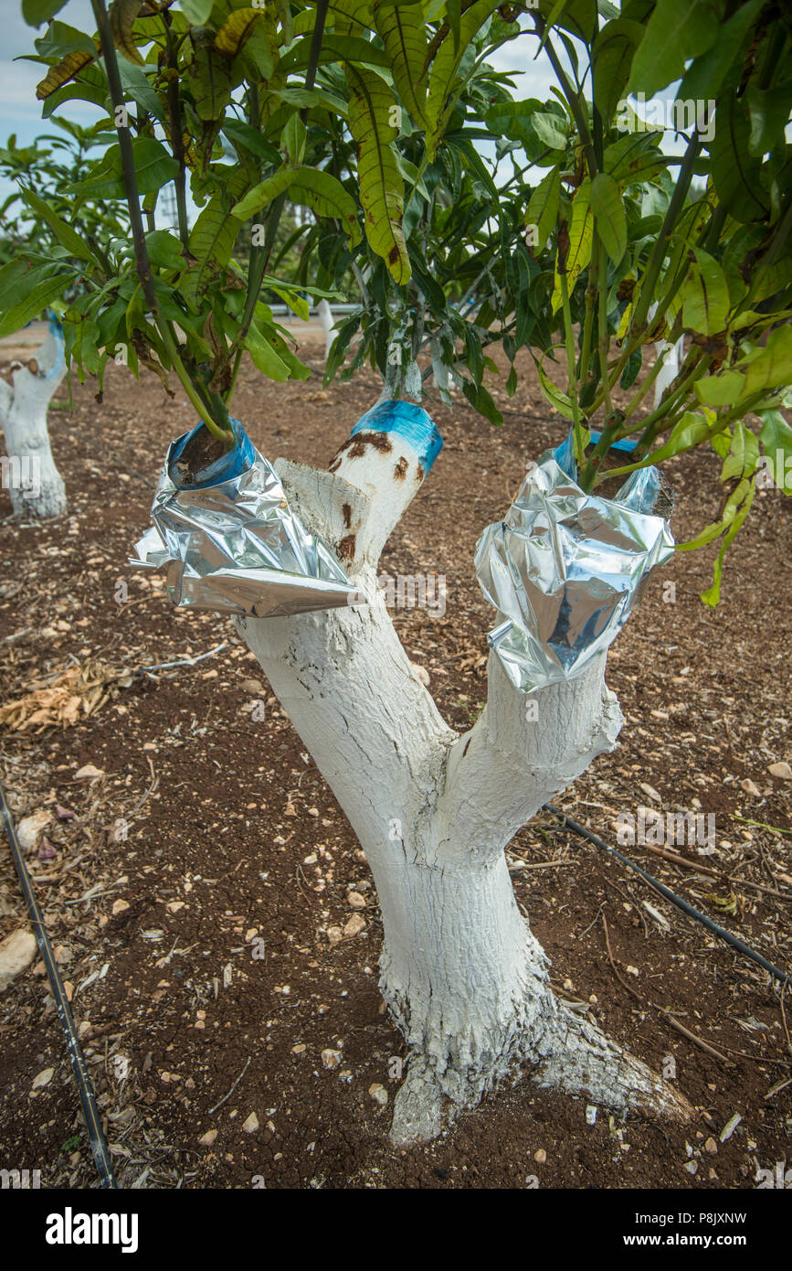 Grafting Mango Tree Stock Photo Alamy
