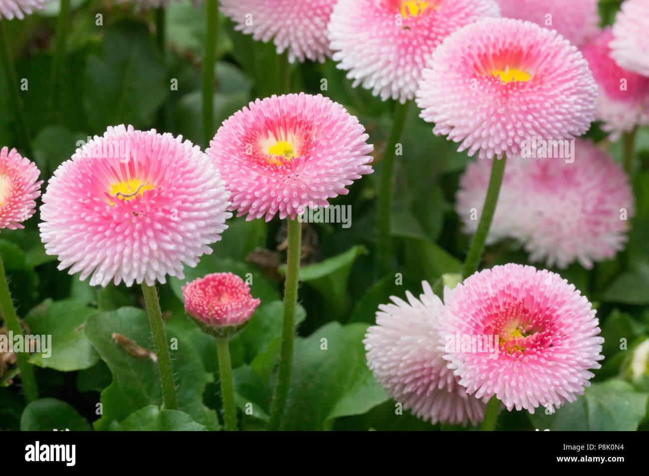 Pink English Daisies Pom Pom Flower Stock Photo 211859344 Alamy