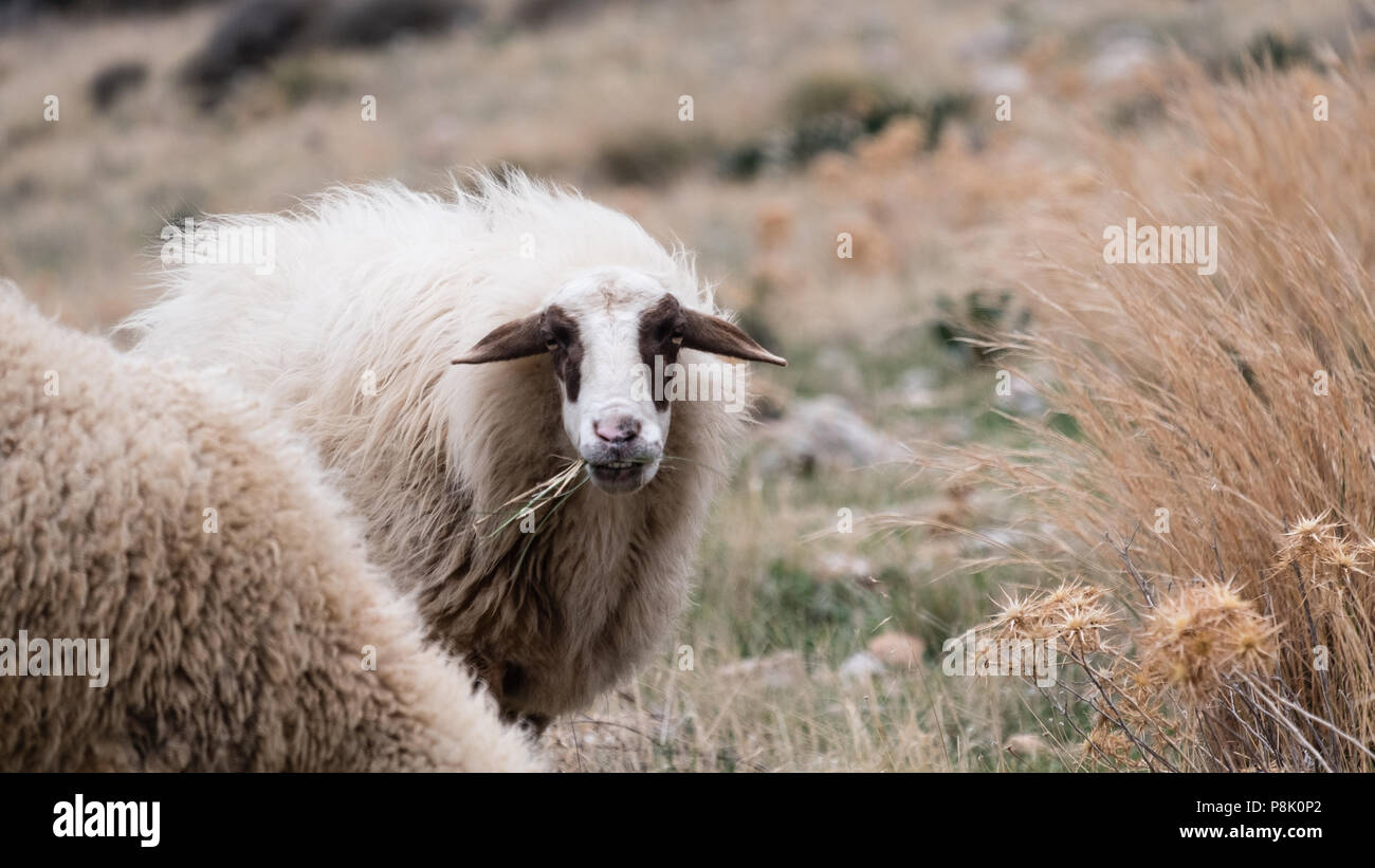 Mountain sheep with her full winters coat on, high on the hills of Saronida eating grass whilst staring into the camera, East Attica, Greece, Europe. Stock Photo