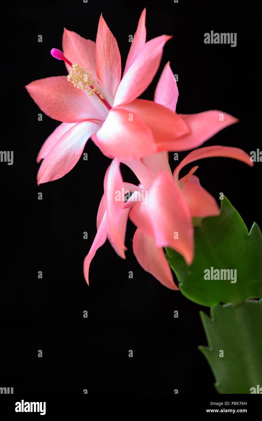 Beautiful Cactus Flower Close Up Macro Photograhpy Stock Photo