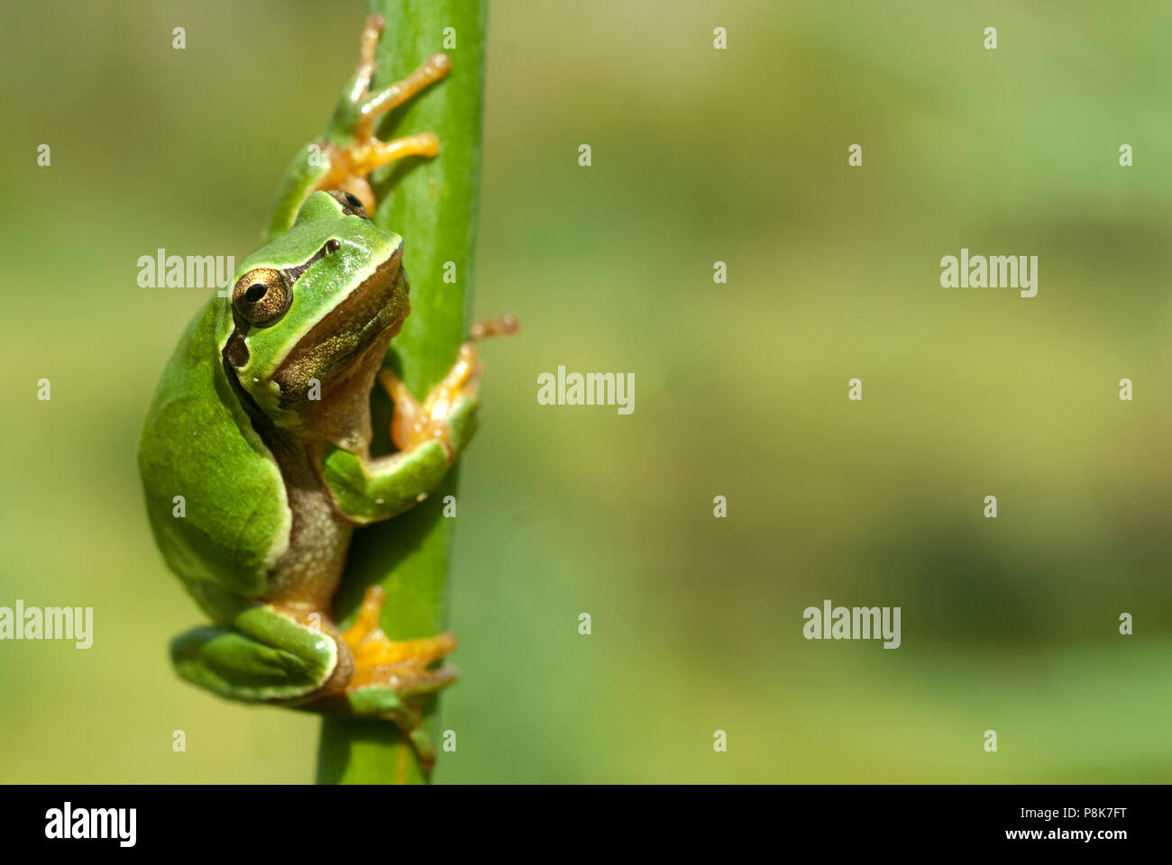 Pretty amphibian green European tree frog, Hyla arborea, sitting on the grass, Spain Stock Photo