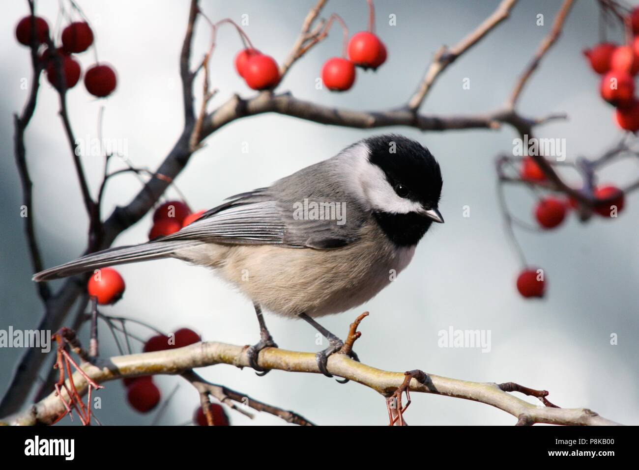 A Carolina Chickadee glances my way on a branch surrounded by dry red berries before taking flight. - Stock Image