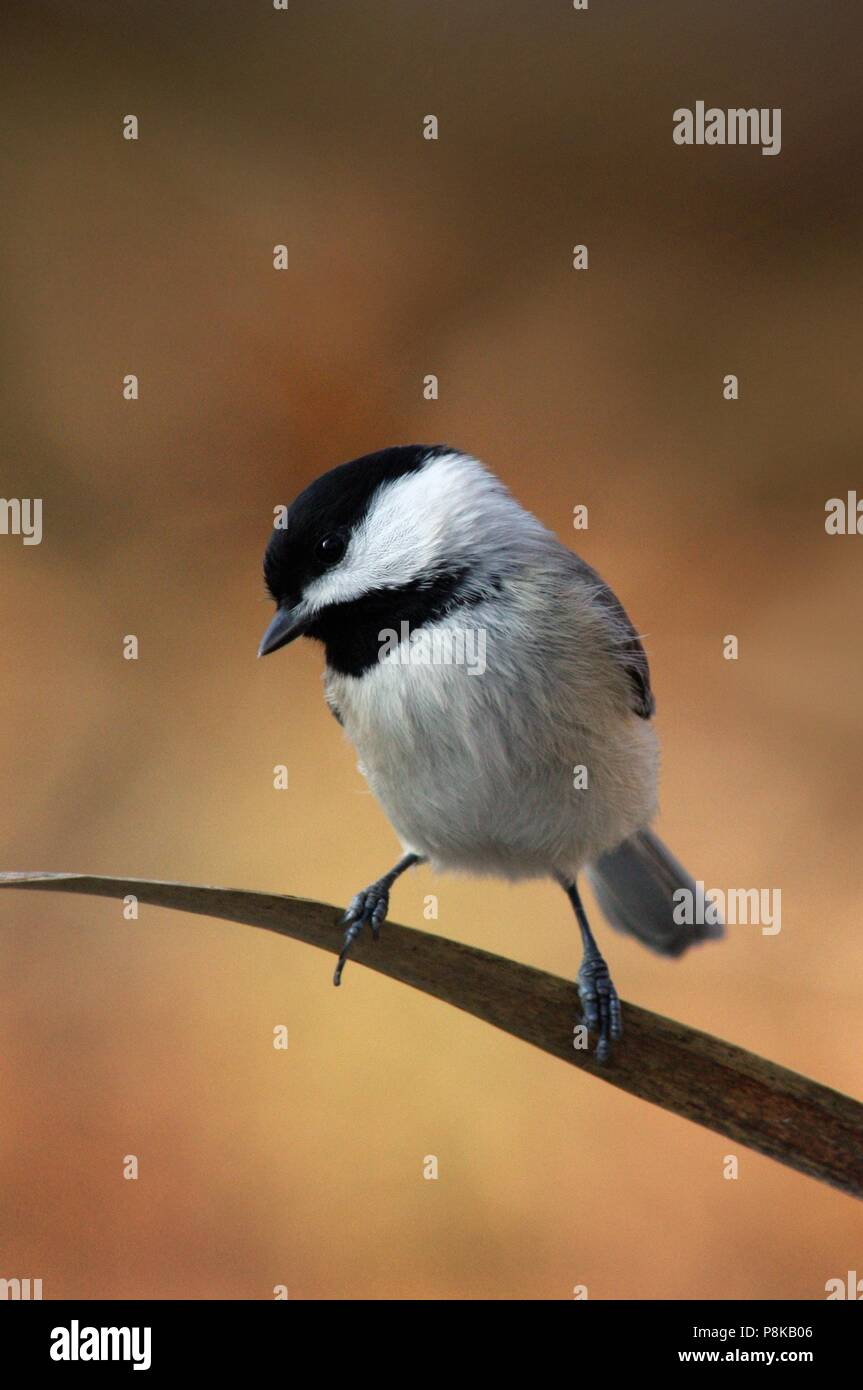 Cute little Carolina Chickadee balances precariously on a cattail reed before flitting off again on a crisp autumn afternoon. - Stock Image