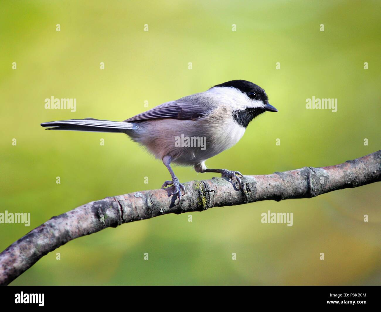A Carolina chickadee perched on a branch in the early spring. - Stock Image