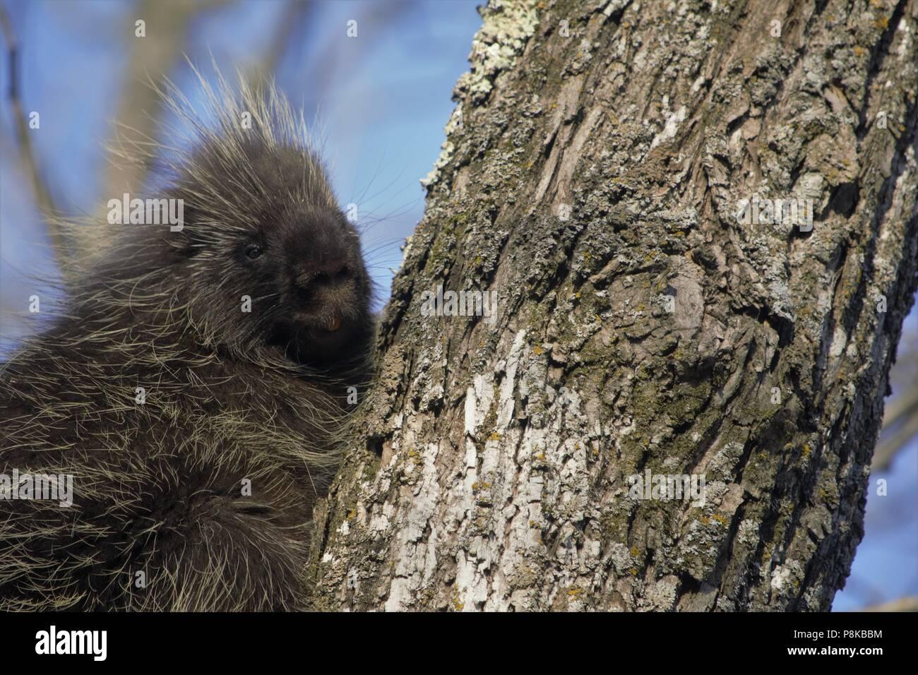Erethizon dorsatum (North American Porcupine) Stock Photo
