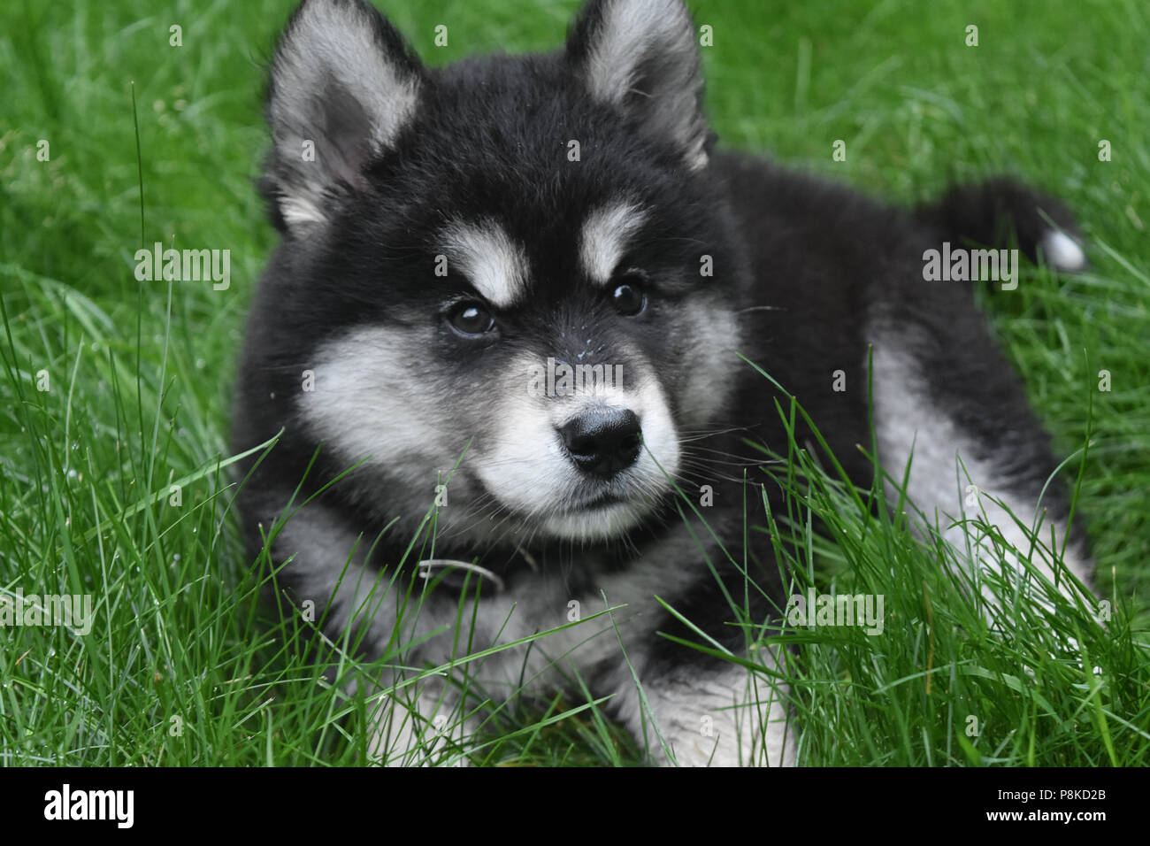 Close Up Of A Husky Puppy With Fluffy Black And White Fur Stock Photo Alamy