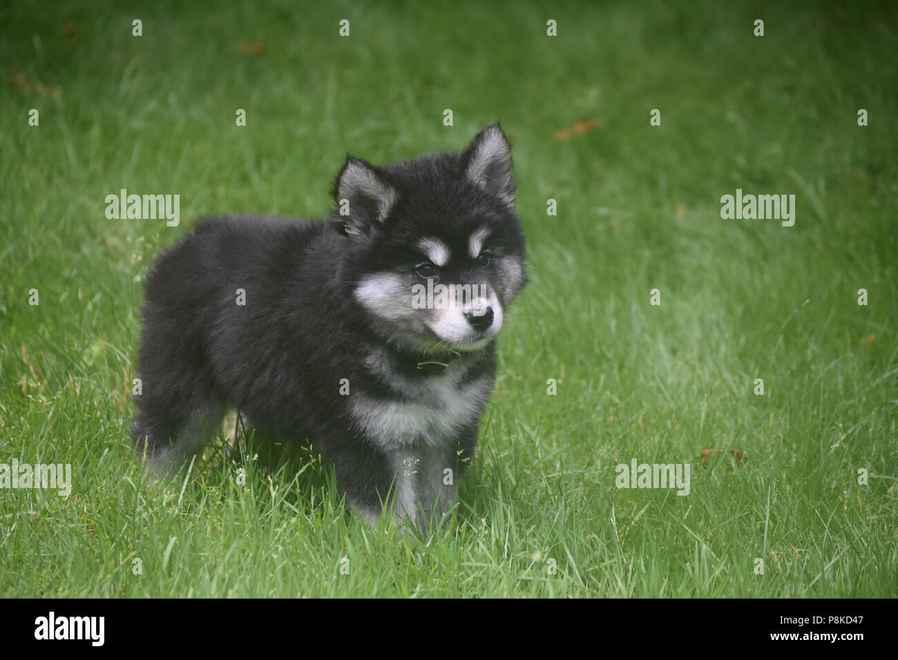 Beautiful Young Husky Puppy With Black White And Gray Fur Stock Photo Alamy