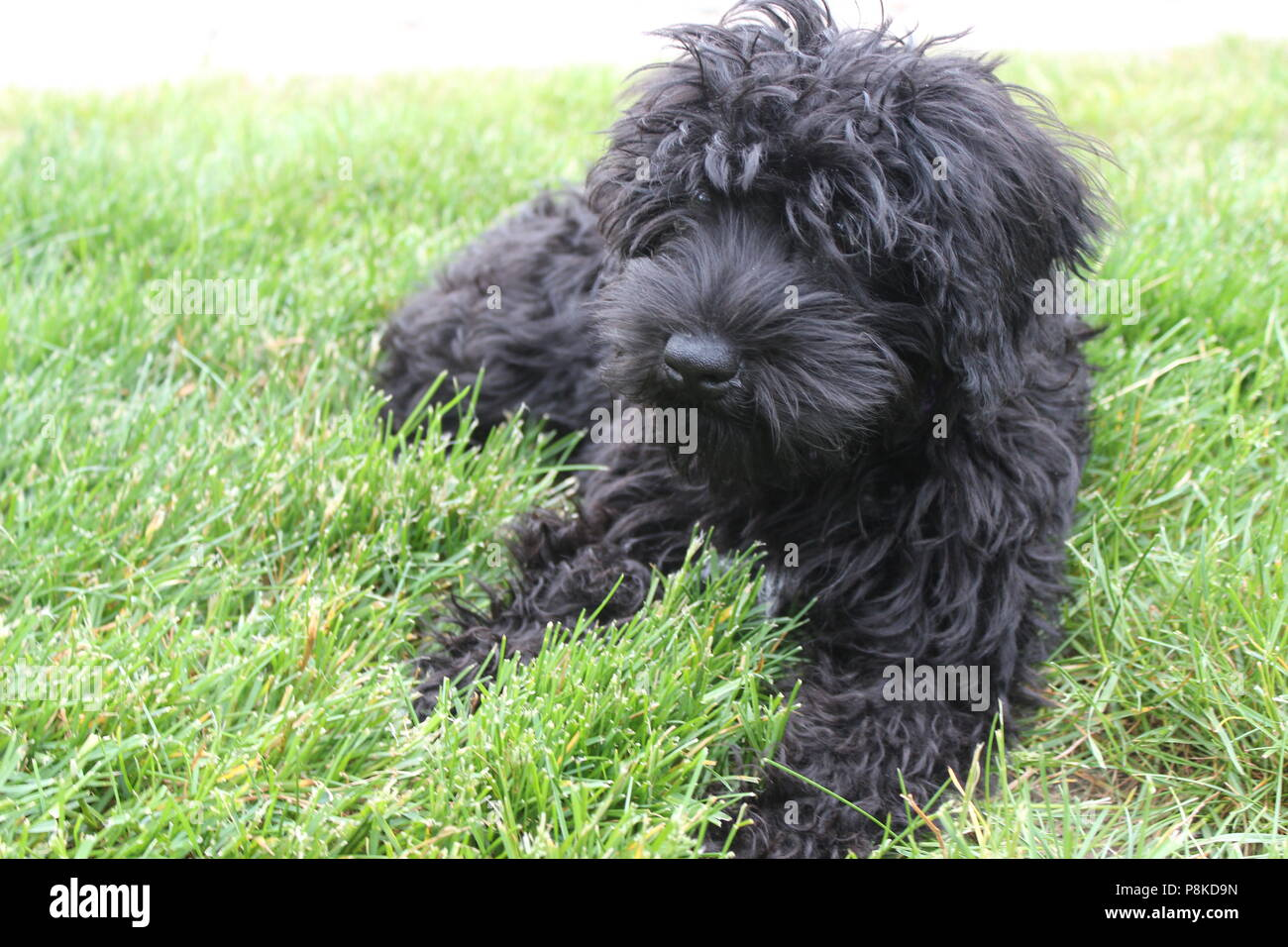 Cute dog lounging outside in the grass. Black poodle/ schnoodle puppy enjoying the wonders of the great outdoors on a warm summer day. - Stock Image
