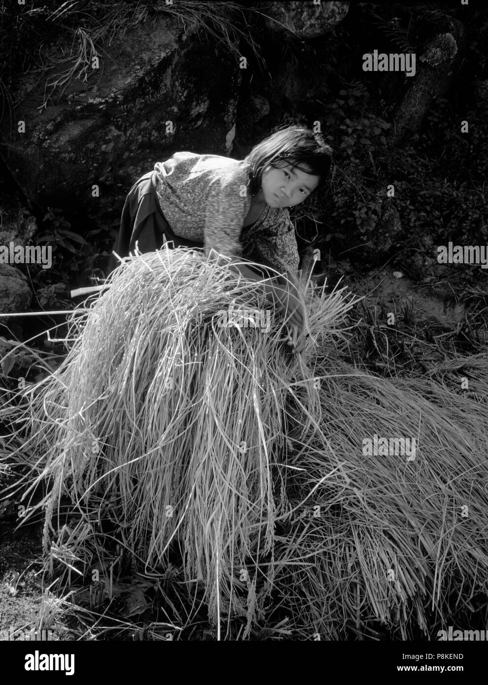 Young NEPALI girl HARVESTING RICE along the BARUN RIVER - MAKALU BARUN CONSERVATION AREA, NEPAL	 - Stock Image