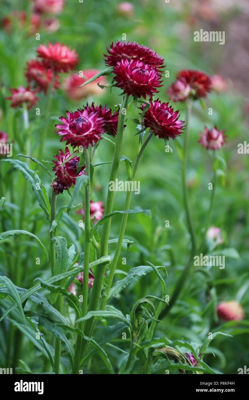 Red And Orange Everlasting Straw Flowers Growing In Summer On A