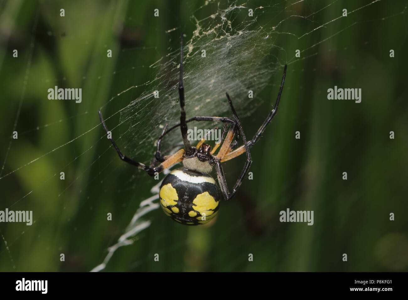 Yellow Garden Spider (Argiope aurantia) August 10th, 2015 USGS EROS Grounds, Minnehaha County, SD - Stock Image