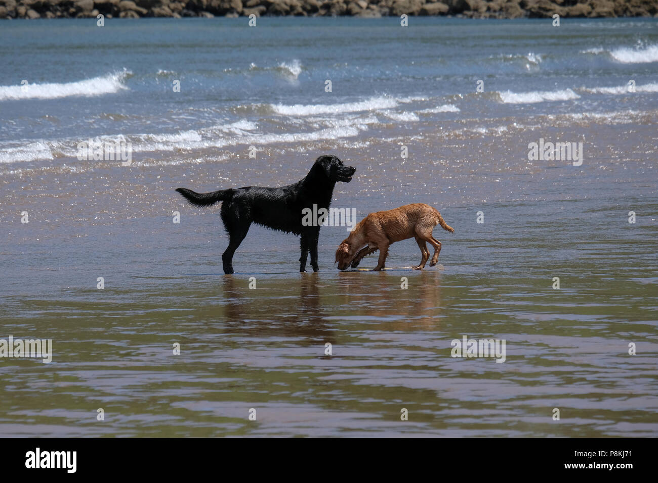 Two dogs playing with seaweed on the beach at North Bay, Scarborough North Yorkshire - Stock Image