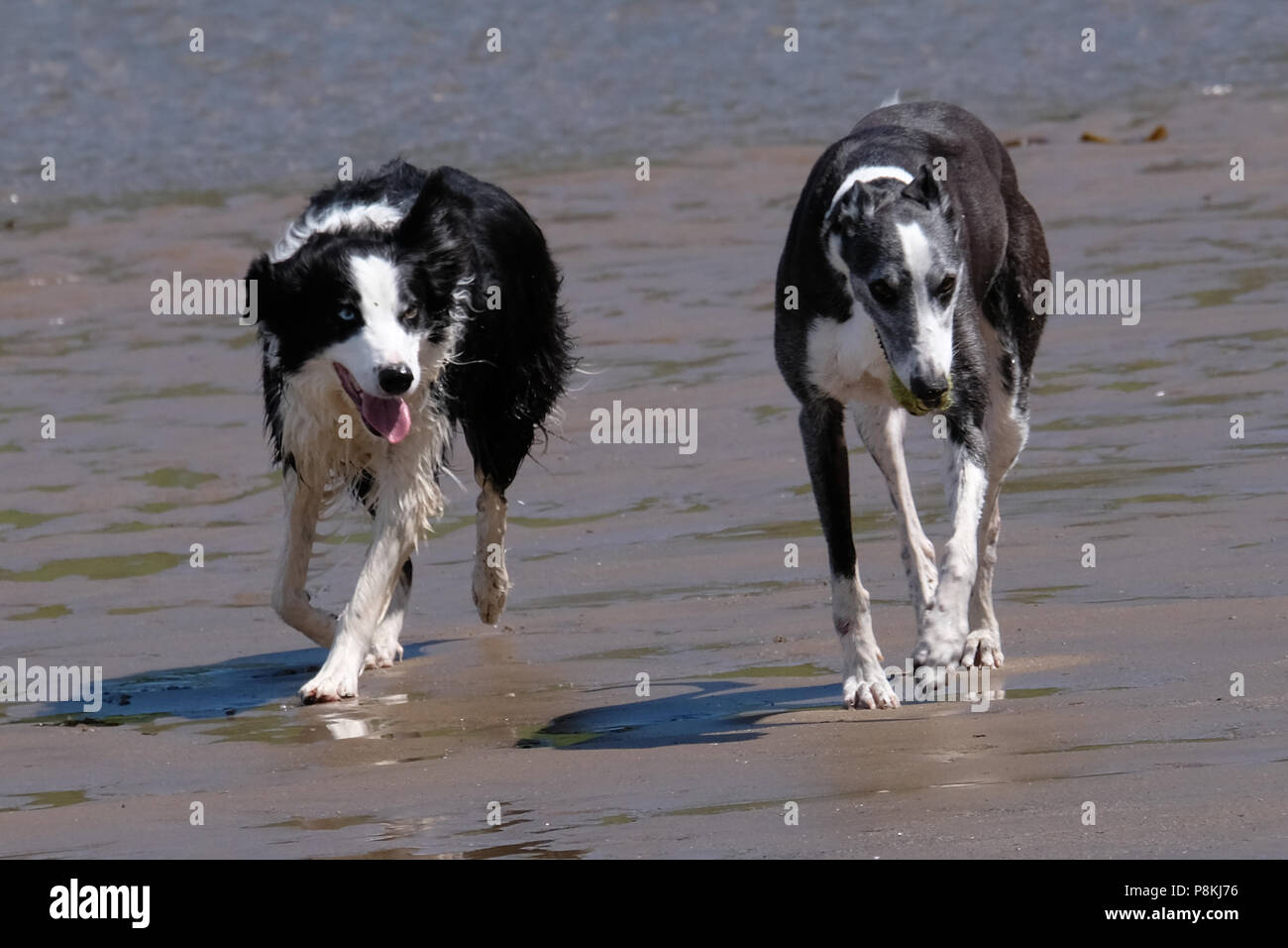 Two dogs running towards the camera whilst having fun on the sandy beach of North Bay, Scarborough - Stock Image