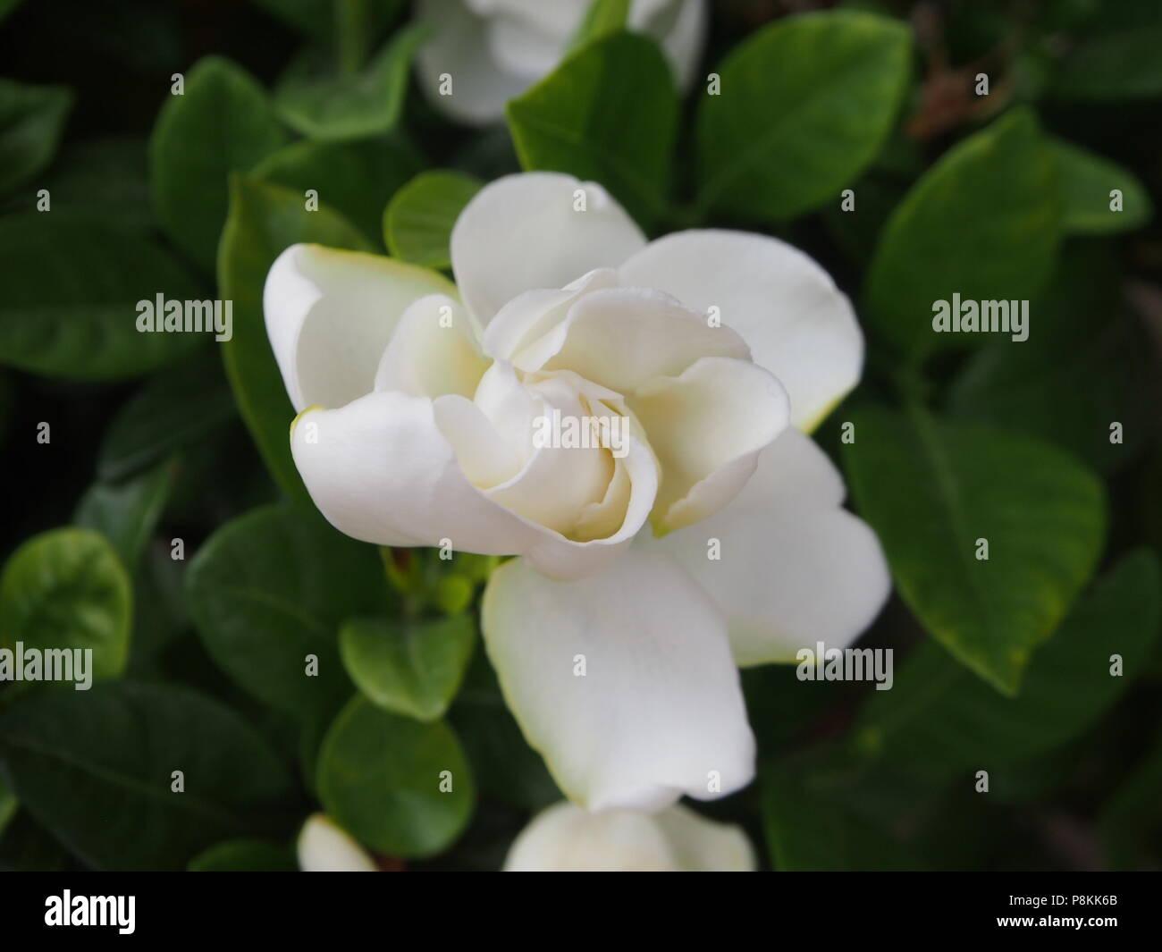 Single White Gardenia Flower About To Open Stock Photo 211873827