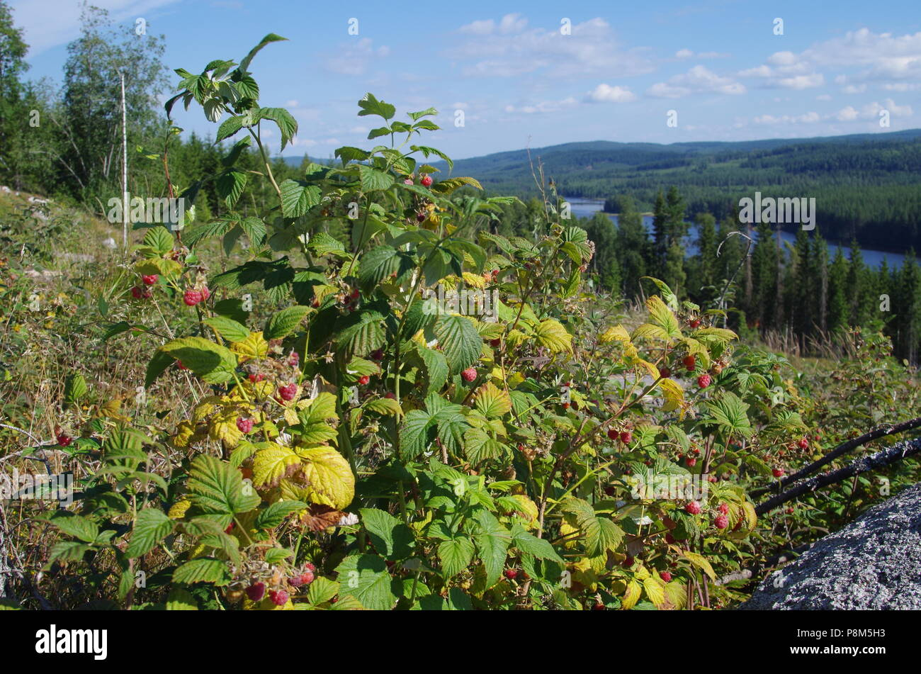 Scenic views with a lake,forest,blueberries and raspberries - Stock Image