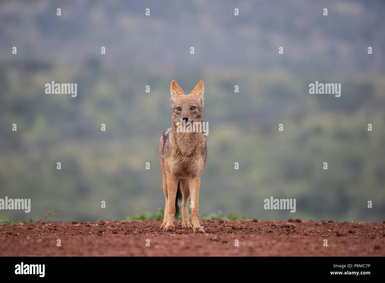 Black backed jackal Canis mesomelas at a scavenging site on a private game reserve in South Africa - Stock Image