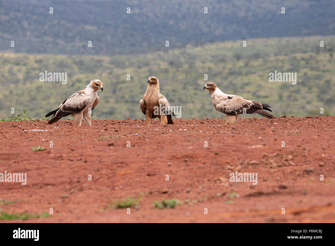 Three Tawny Eagles Aquila rapax scavenging on the ground at the site of kill in KwaZulu Natal, South Africa - Stock Image