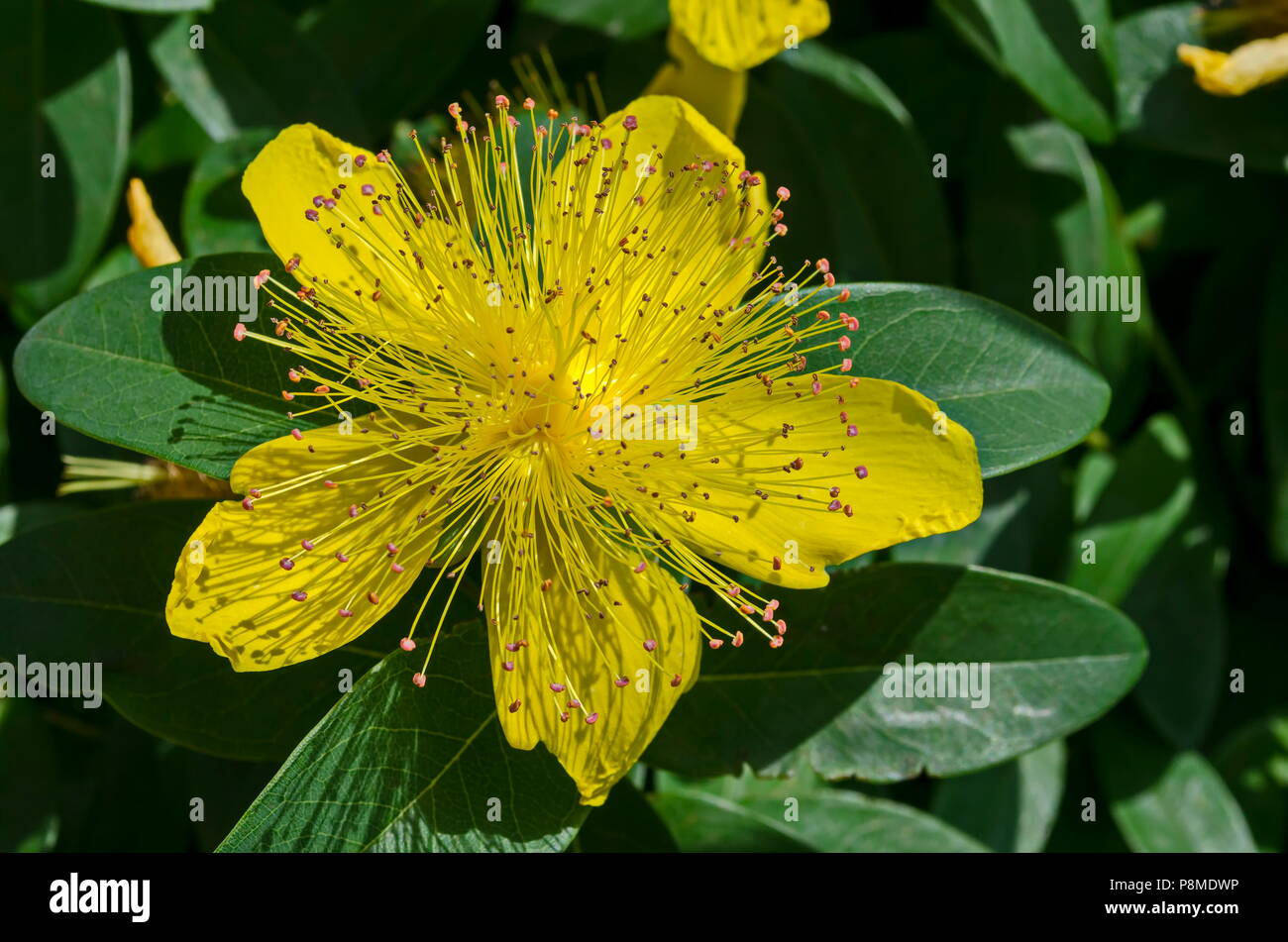 Hypericum Calycinum St Johns Wort Or Yellow Rose Of Sharon Bush