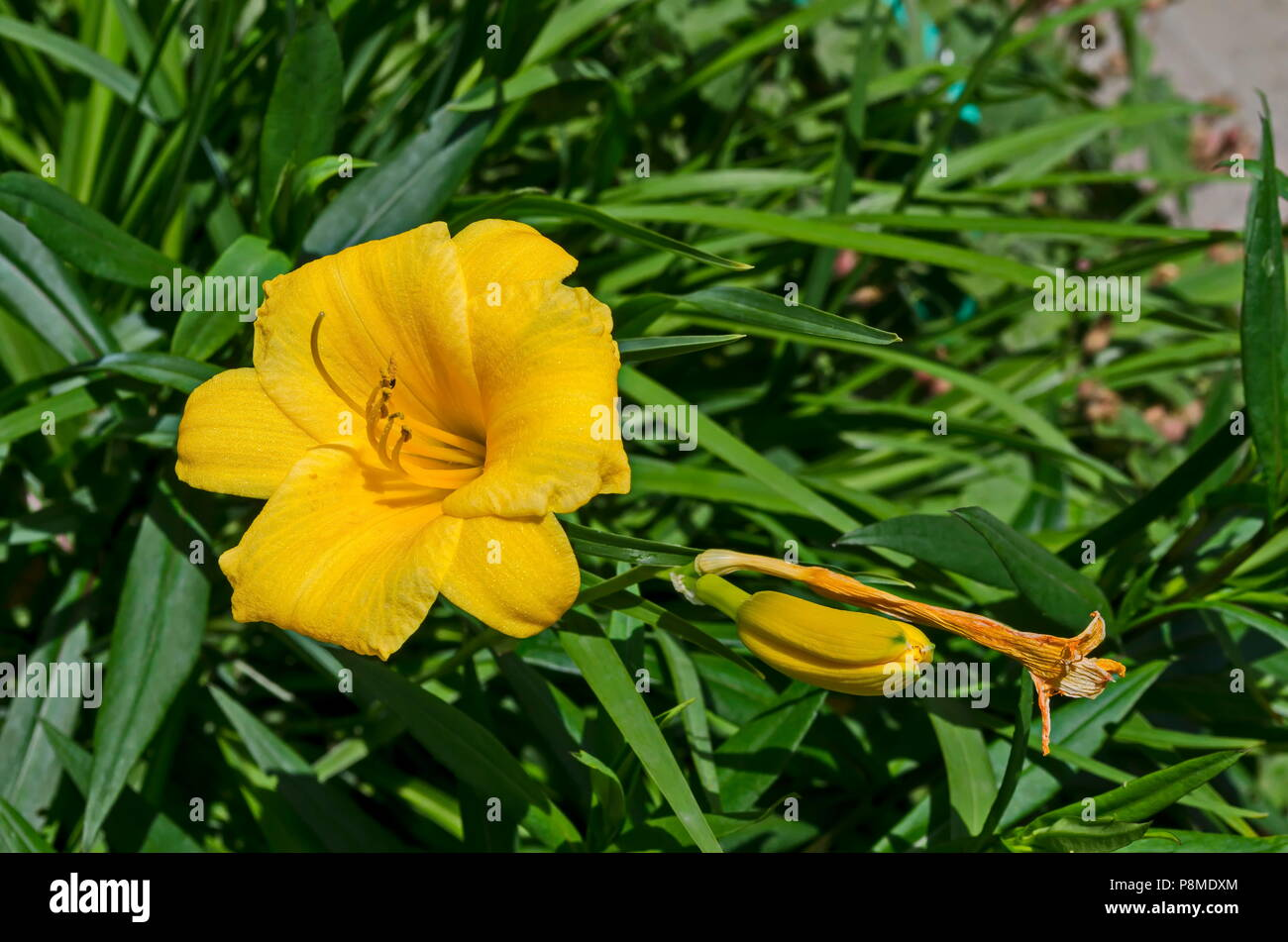 Hemerocallis Stella Oro Stock Photos Hemerocallis Stella Oro Stock