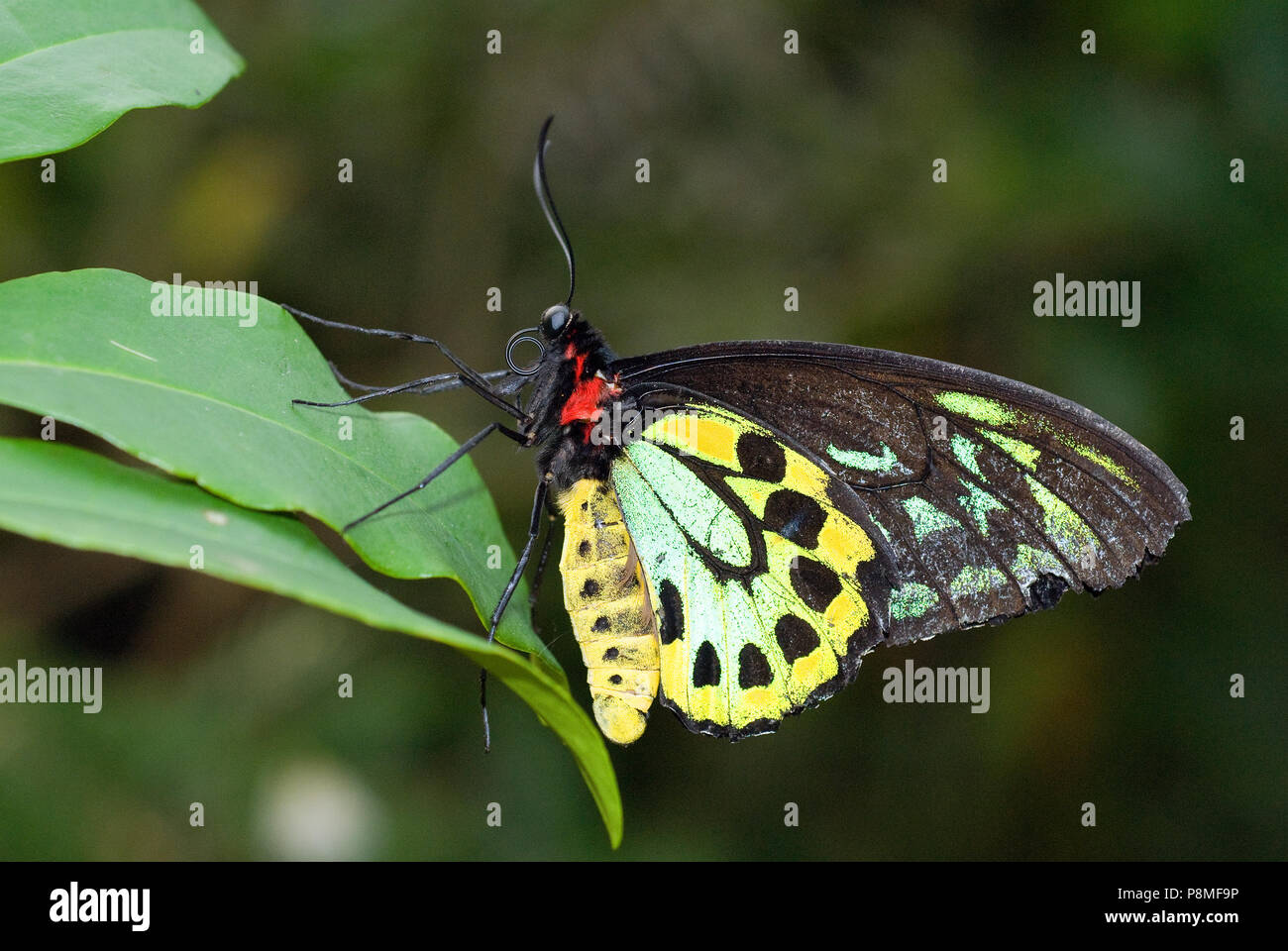 Cairns Birdwing (Ornithoptera euphorion), Magic Wings Butterfly Conservatory and Gardens, South Deerfield, Franklin County, Massachusetts, USA - Stock Image