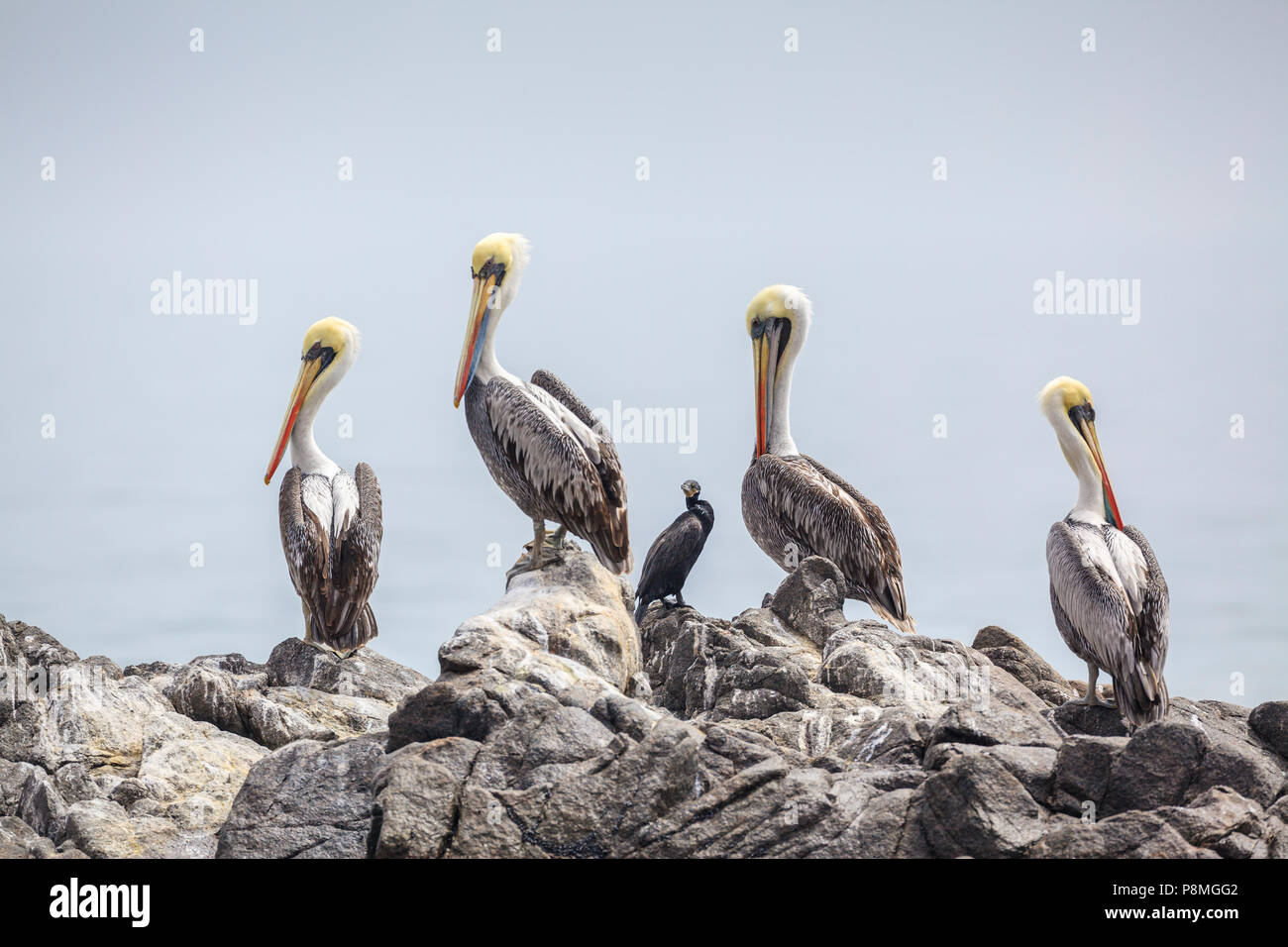 Group of four Peruvian Pelicans and one Neotropic Cormorant on a rock - Stock Image