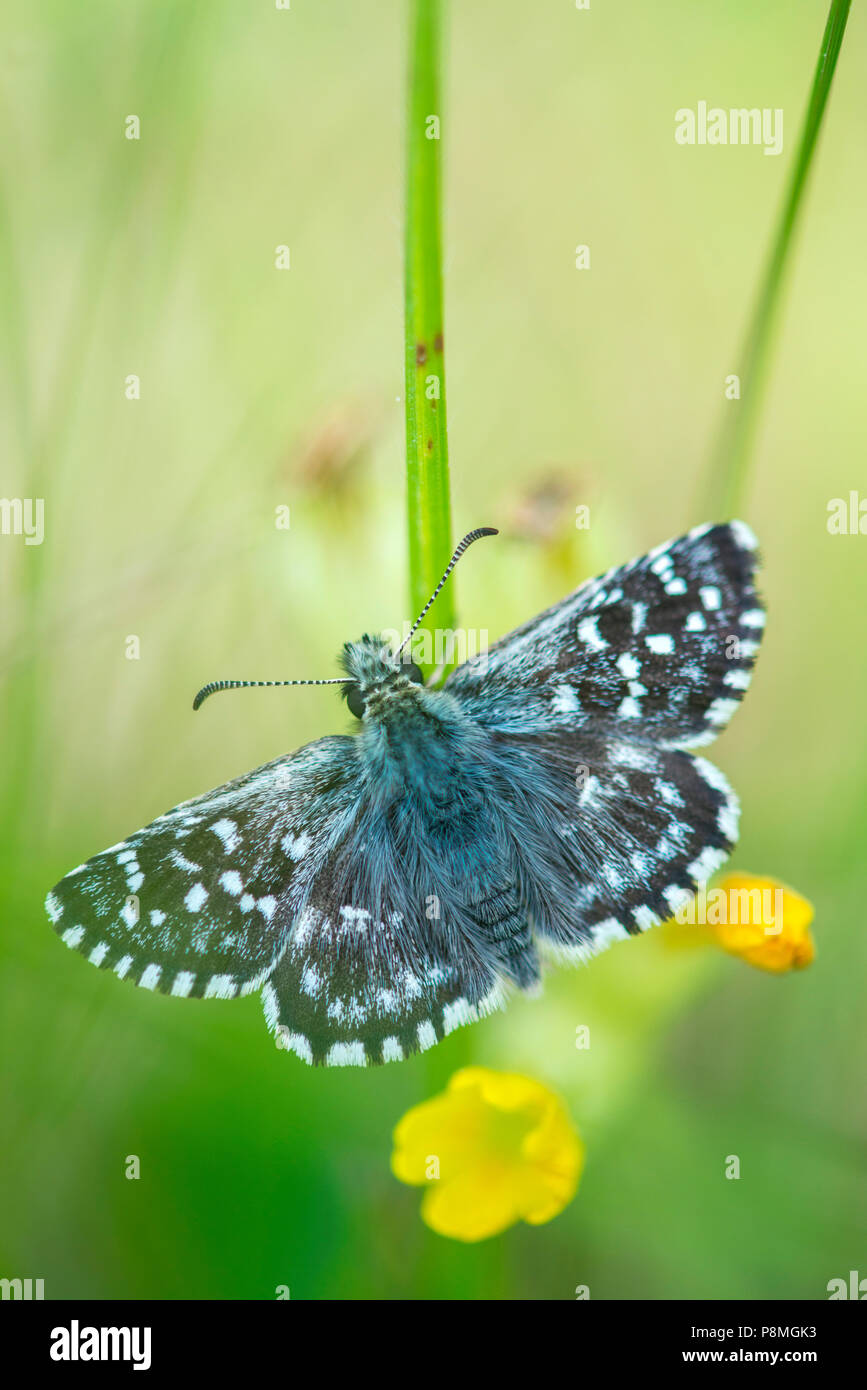 grizzed skipper - Stock Image