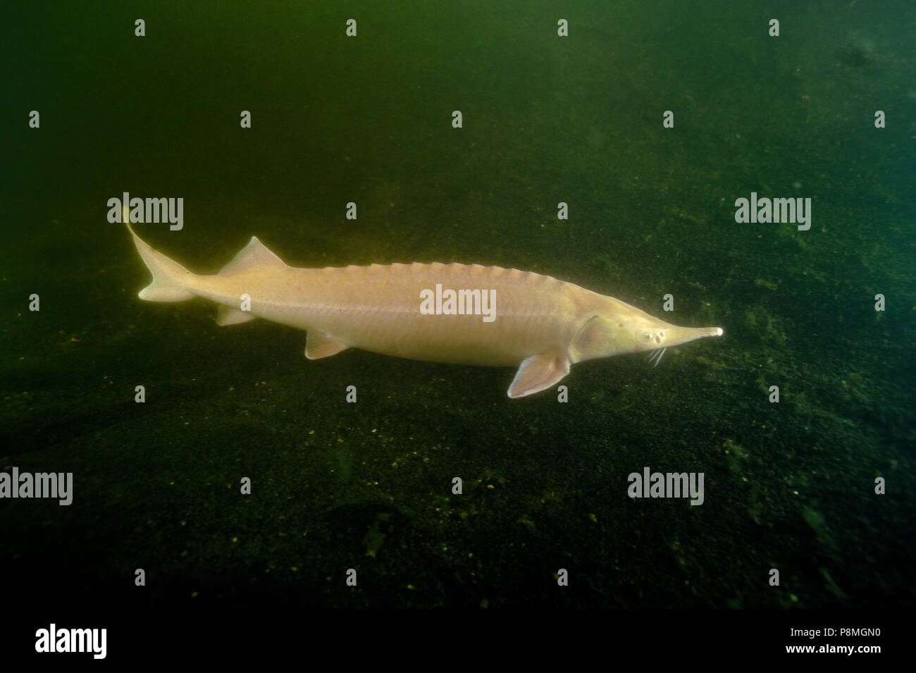 Albino sturgeon is a cultivated hybrid species without natural habitat - Stock Image