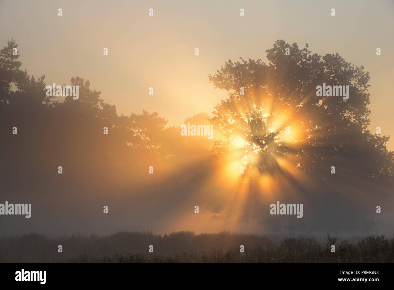 Crepuscular rays radiating from a tree at sunrise - Stock Image