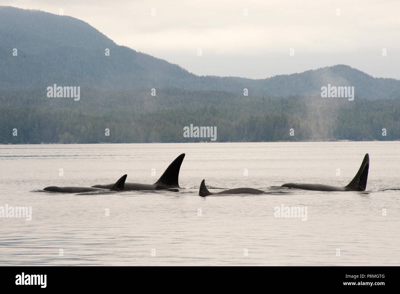 Unlike resident killer whales the Transient Killer Whale only hunts for marine mammals - Stock Image