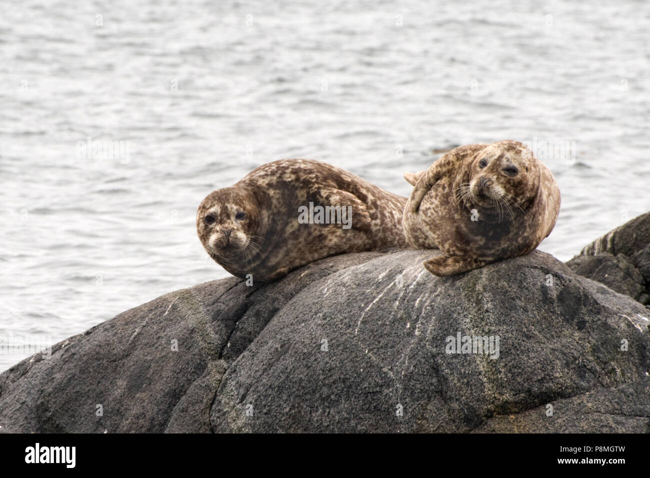 Two Harbour Seals (Phoca vitulina) resting on dark grey rocks Stock Photo