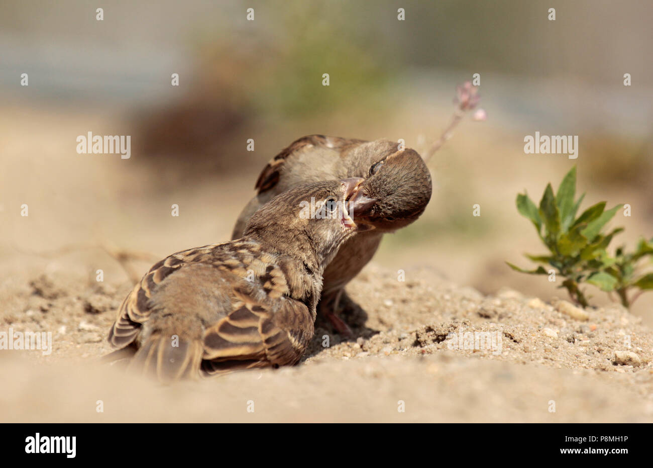Adult house sparrow is feeding a juvenile. - Stock Image