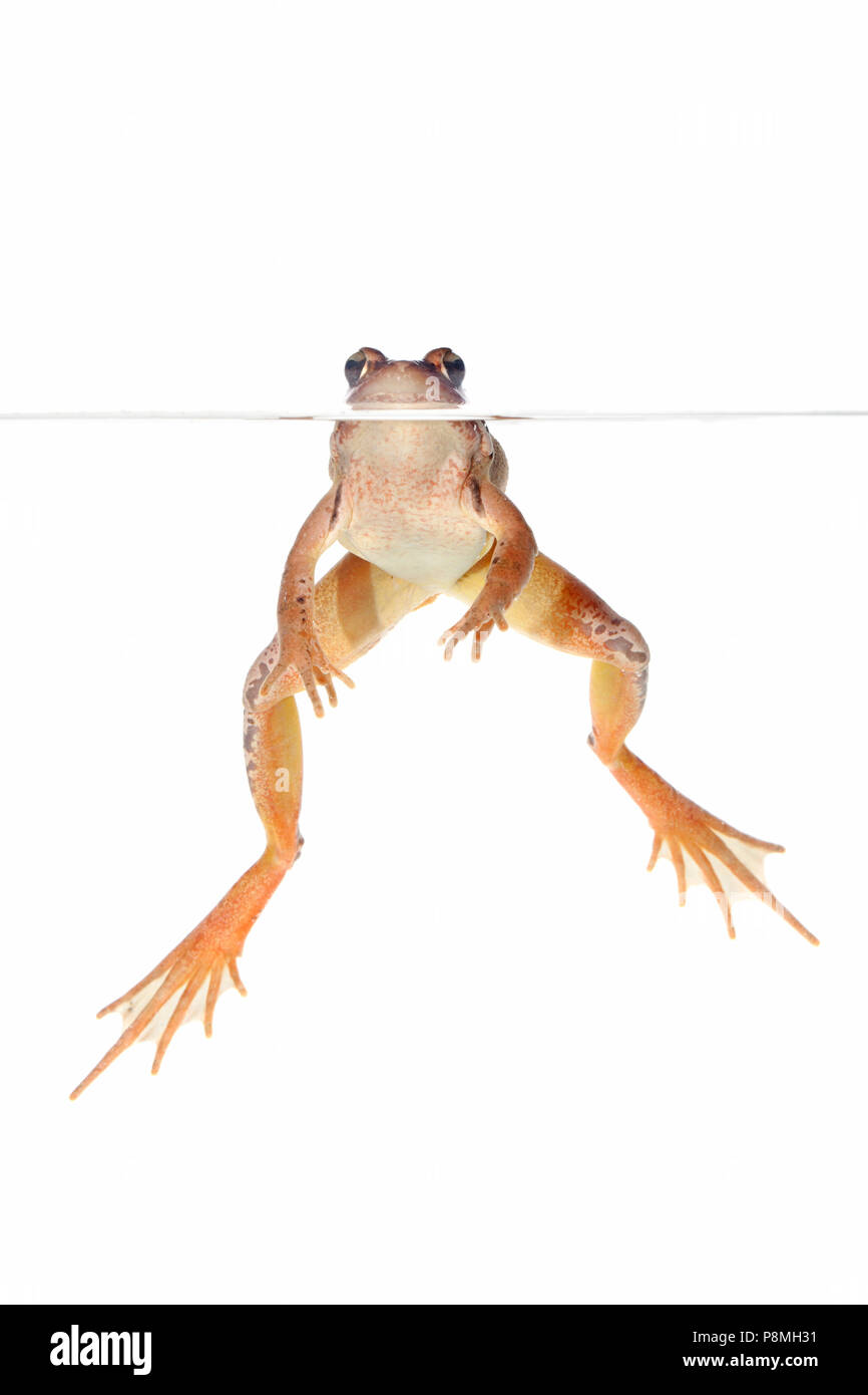agile frog in the water isolated against a white background - Stock Image