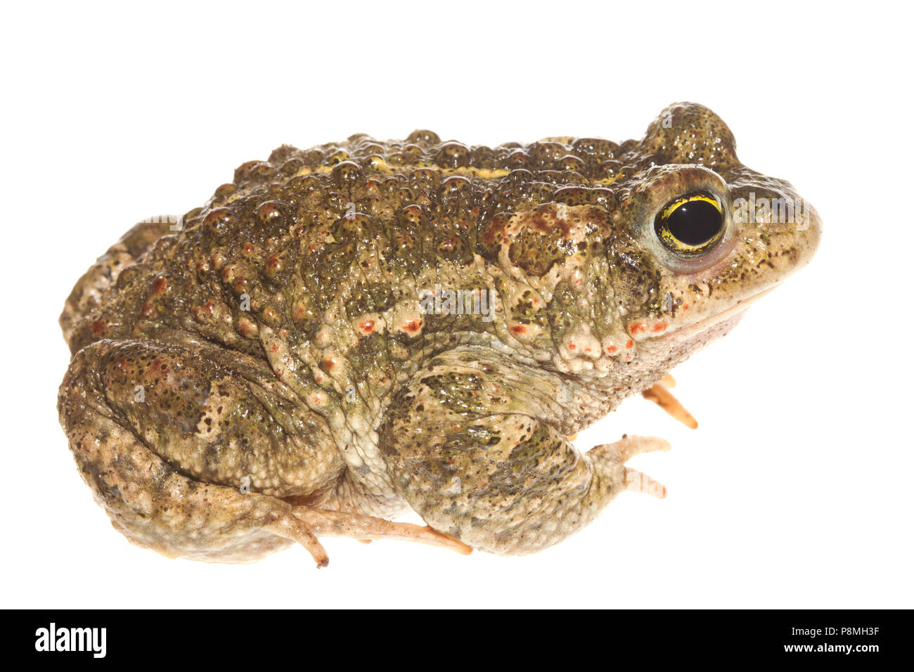 natterjack toad isolated against a white background - Stock Image