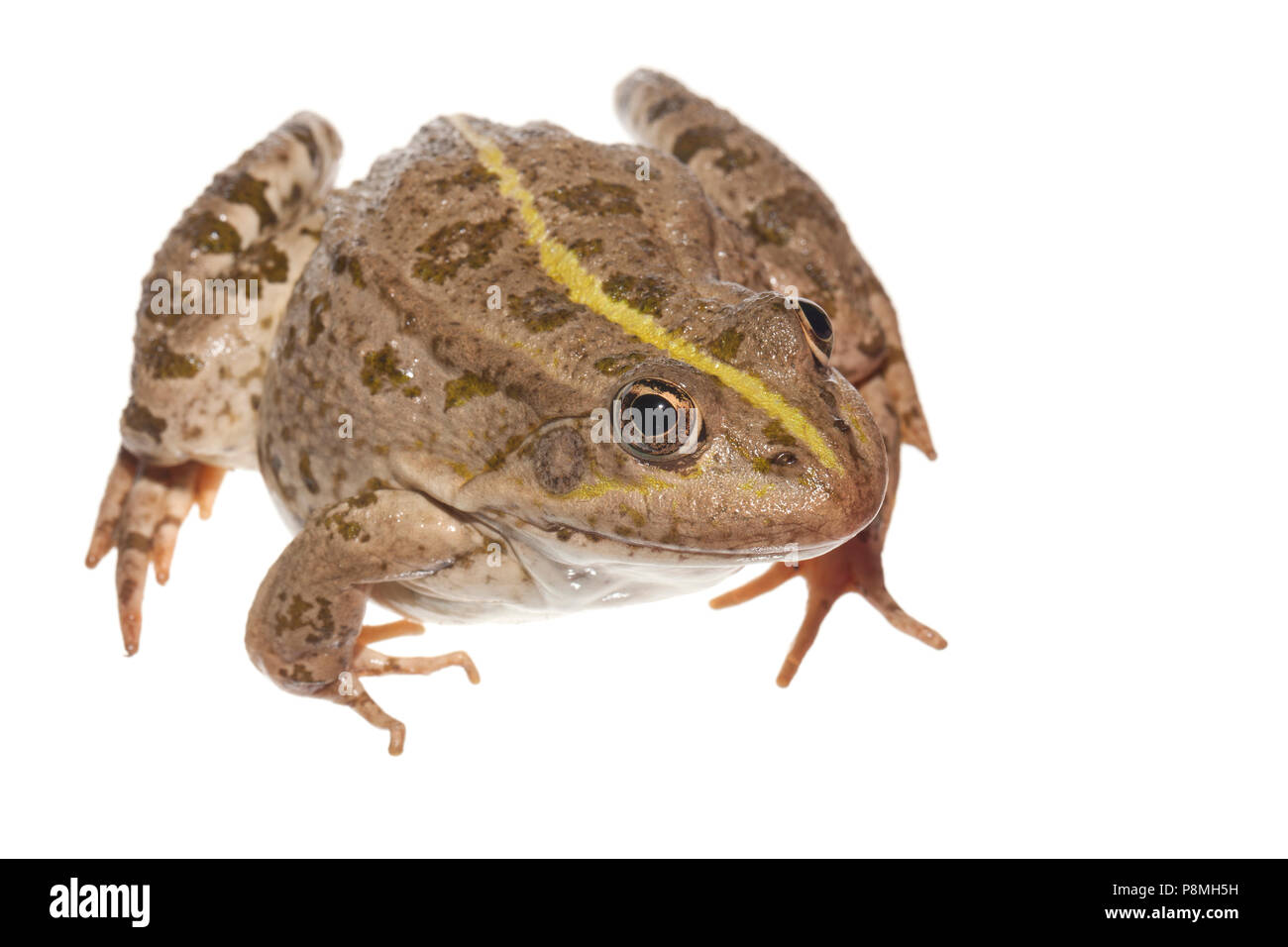 marsh frog isolated against a white background - Stock Image