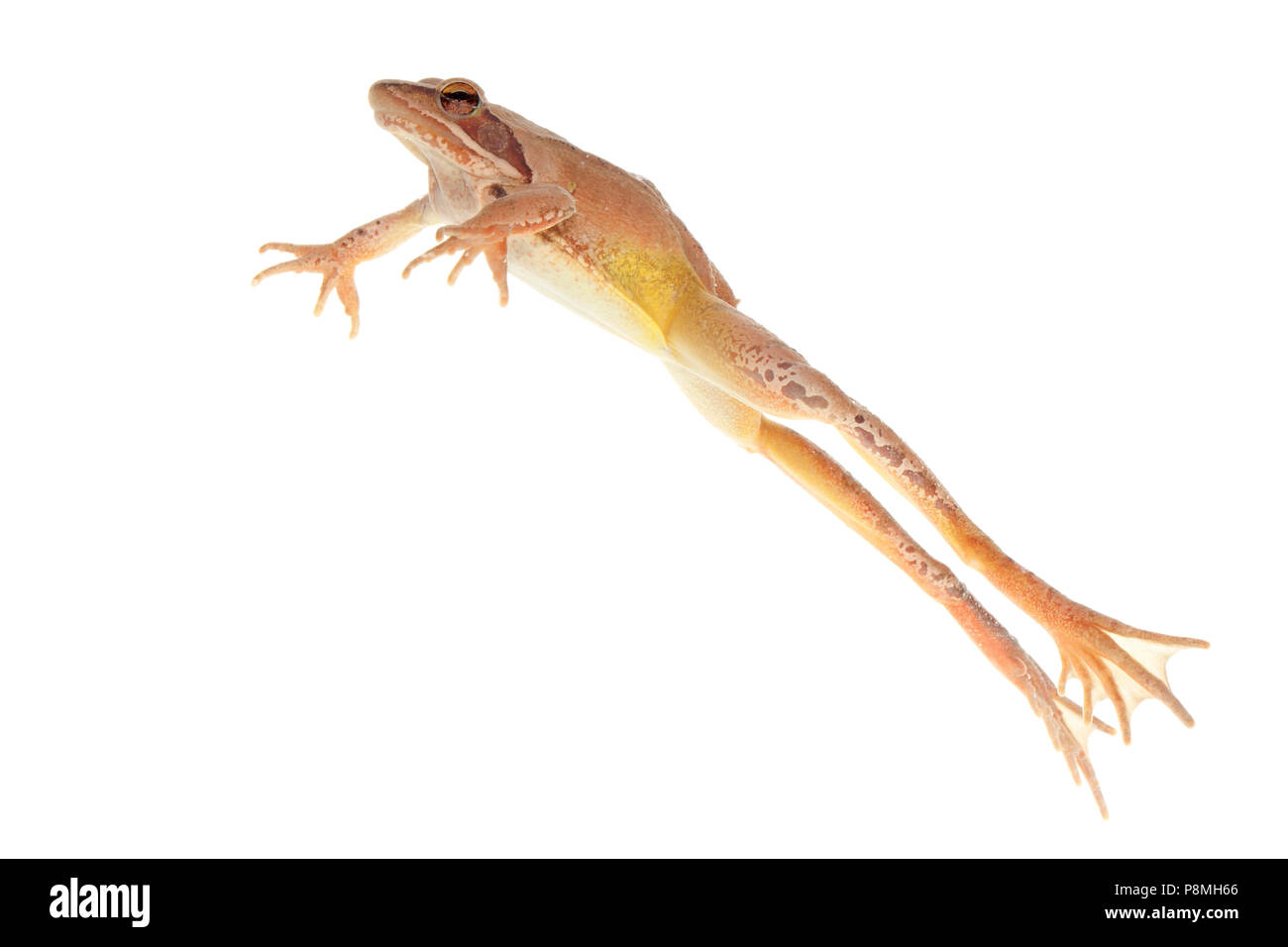 jumping agile frog isolated against a white background - Stock Image