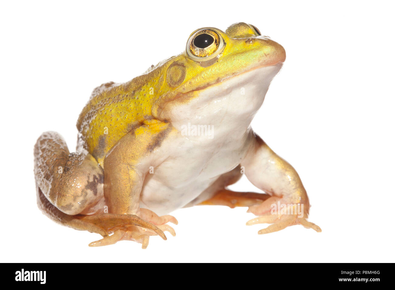 pool frog isolated against a white background - Stock Image