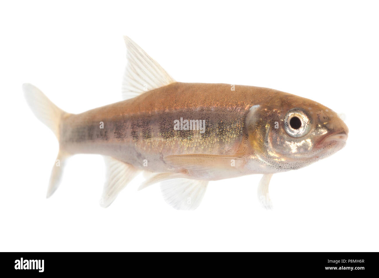 Minnow isolated against a white background Stock Photo