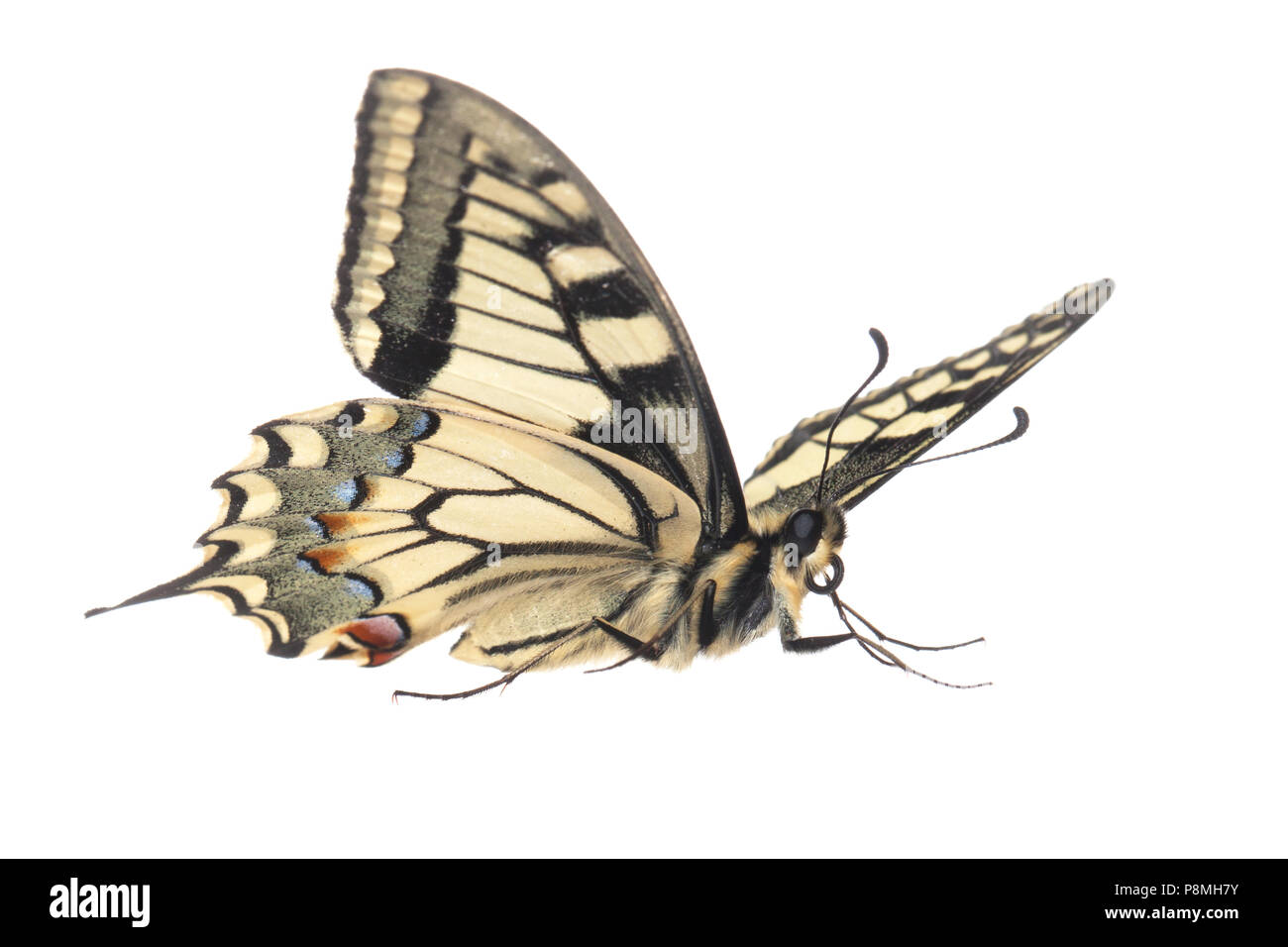 old world swallowtail isolated against a white background - Stock Image