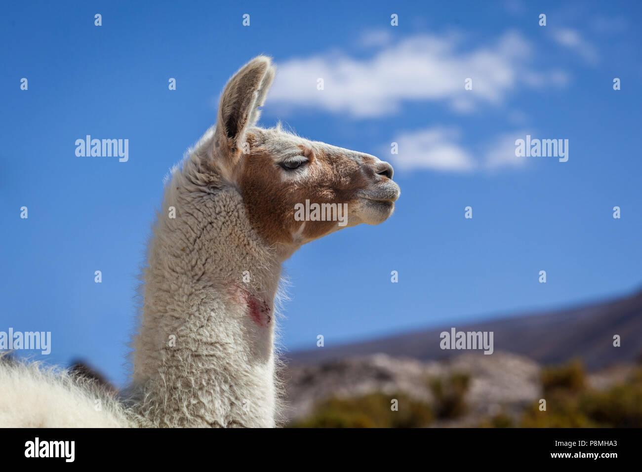 Alpaca (Lama pacos) portrait against blue sky - Stock Image