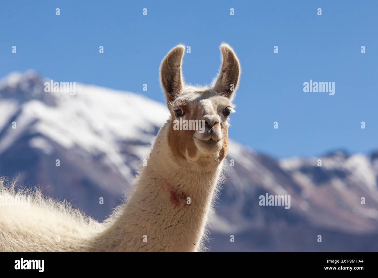 Alpaca (Lama pacos) portrait - Stock Image