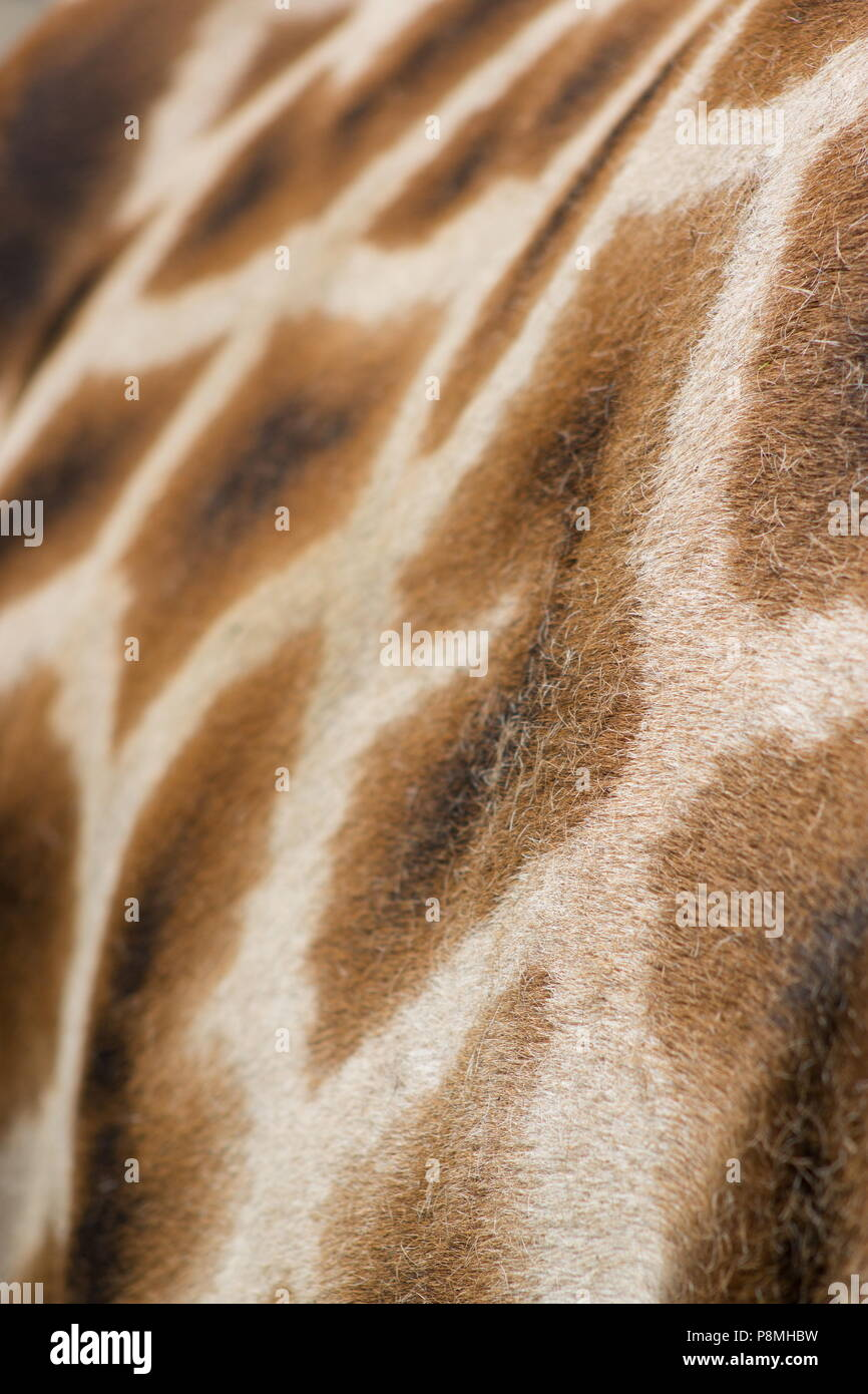 Close up background  image of the patterning of a Giraffe - Stock Image