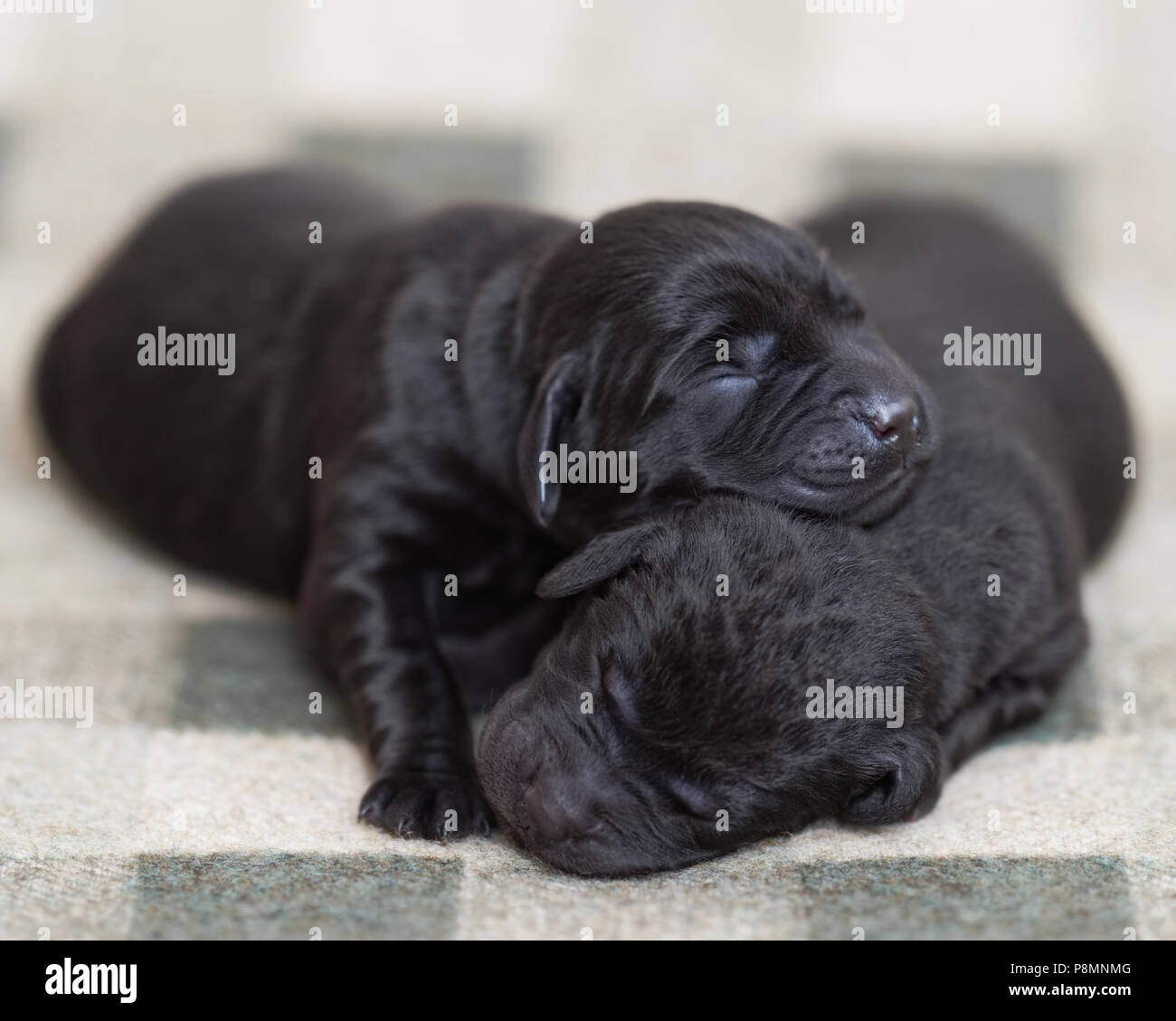 Newborn Cute Black Labrador Puppies Stock Photo Alamy