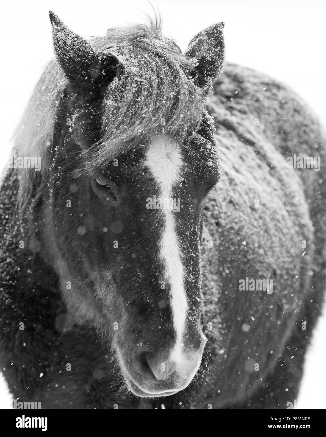 Stoic horse in winter snow - Stock Image