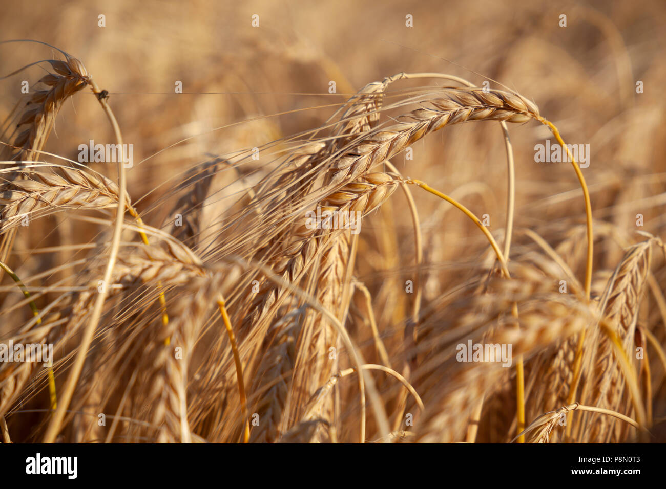 Close up of ripe golden-brown barley, Gloucestershire, England, United Kingdom, Europe - Stock Image
