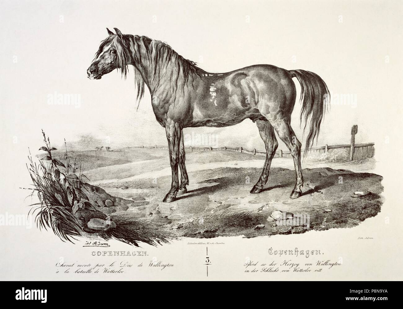 Copenhagen, the Duke of Wellington's horse, 19th century. Engraving in Apsley House, London. - Stock Image