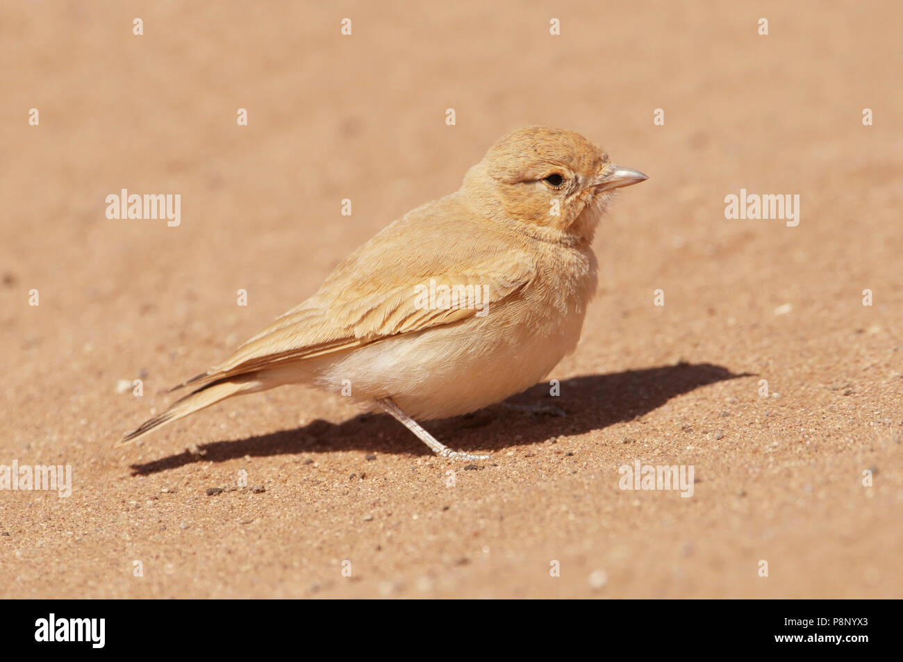 Bar-tailed Lark in the sand desert - Stock Image