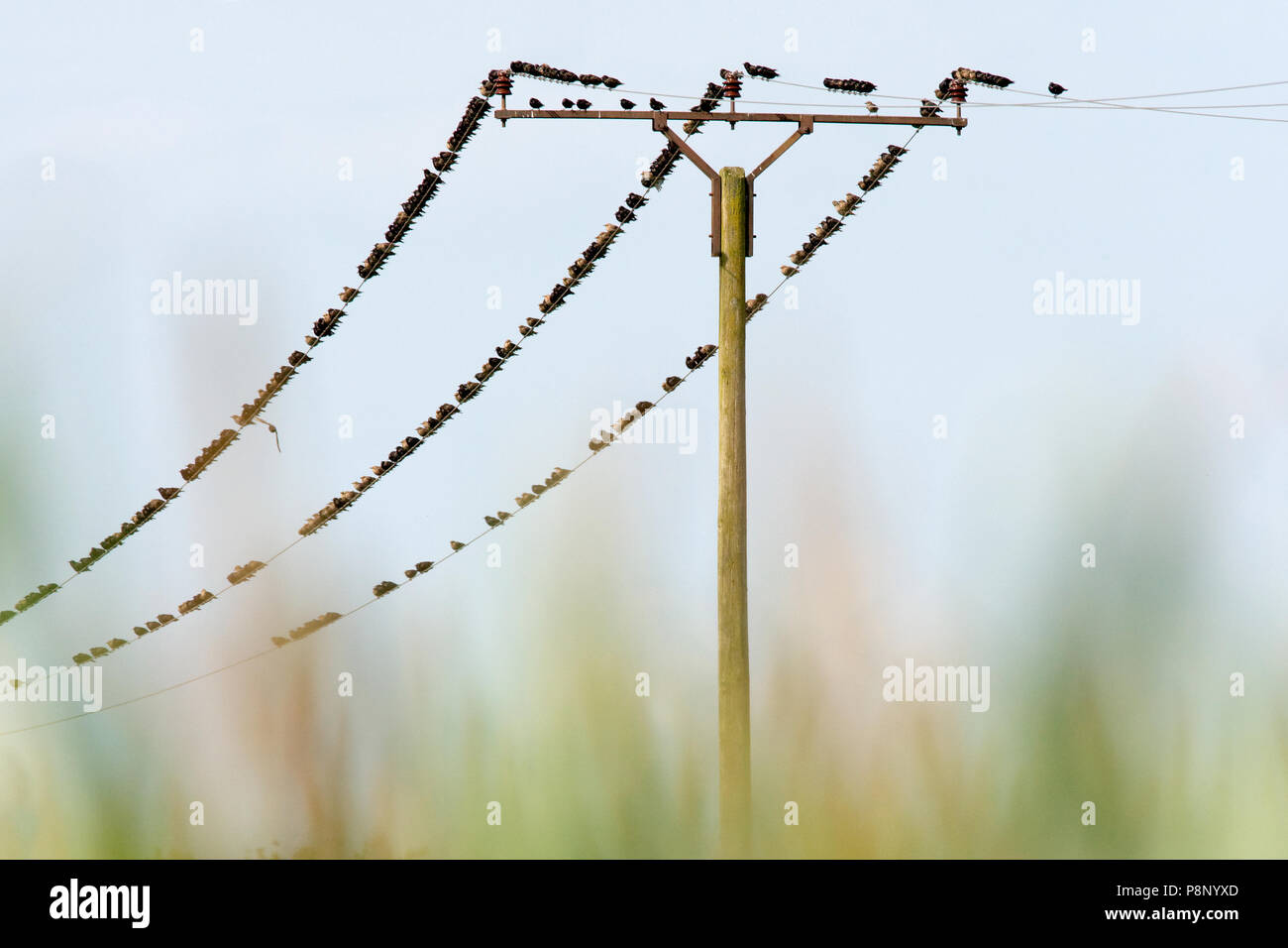 Large group of common starlings assembled on electricity pole and (its) power lines - Stock Image