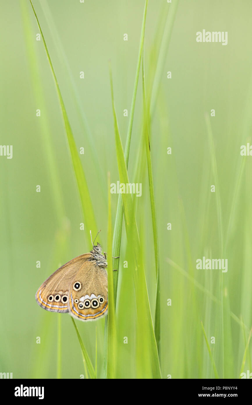 False ringlet in grass - Stock Image
